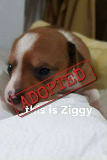 Ziggy puppy adopted