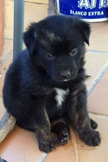 Axl, male Newfoundland puppy