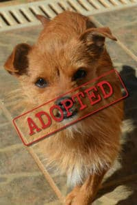 Mini female terrier mix finds home