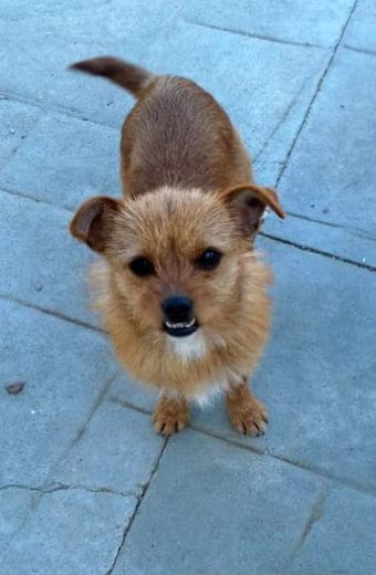 Minnie – female terrier mix seeks home with his best friend Mickey