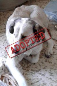 Betty female Mastín adopted in Spain