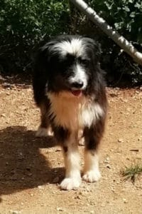 Leona, 5 year old female Catalan Sheepdog mix