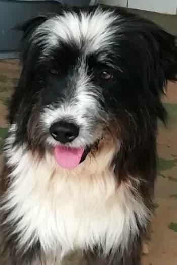 Leona, 5 year old female Catalan Sheepdog mix