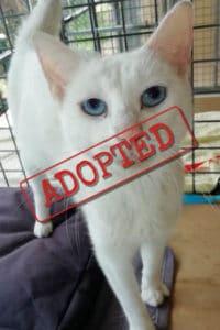 Alba, white female cat adopted in Spain