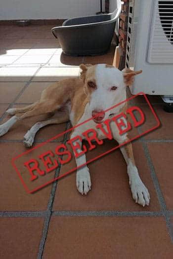 Nela, female podenco reserved for adoption
