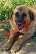 RESERVED: Toby – friendly male Mastín seeks home