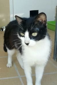 Grace black and white female cat for adoption