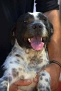 Jilly – Griffon cross German Pointer for adoption