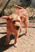 Sandy – female terrier mix in need of a loving home