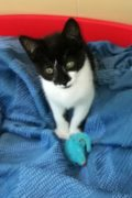 Simba – sweet male kitten for adoption