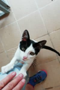 Ace, male black and white kitten seeks home
