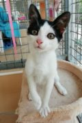 Ace – male kitten looking for a new home