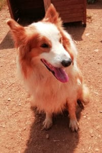 Cosmo, 6 year old male collie mix