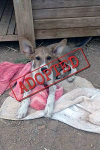 Bailey Podenco adopted