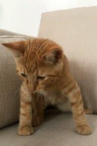 Billy ginger male kitten seeks home