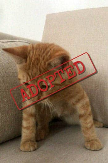 Billy ginger cat adopted