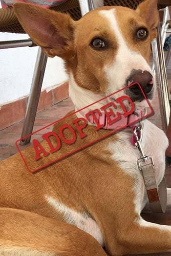 Fifi Podenco adopted