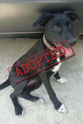 Jara black female Labrador Cross adopted