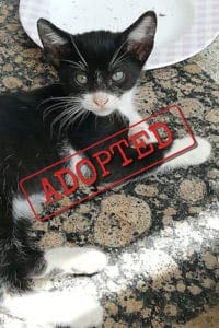 Black and white kitten adopted