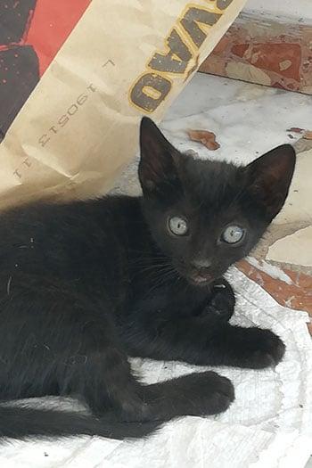 K4 black female kitten