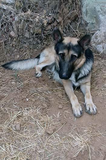 Balu young male German Shepherd cross