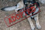 Balu German Shepherd adopted in Spain