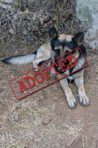 Balu German Shepherd adopted in Spain
