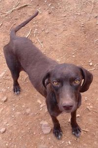 Beauty young female Pointer cross