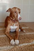 Frisky – beautiful young Podenco male seeks loving home