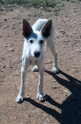 Henry – Young male Podenco mix seeks loving home