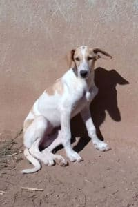 Holly young female Podenco mix
