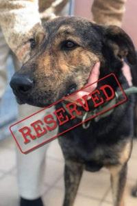 Beau big friendly dog reserved for adoption