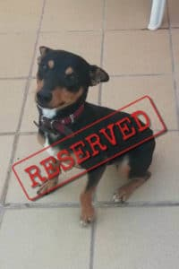 Solo, small dog reserved for adoption