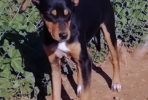 Mia, small female Pinscher cross seeks forever home