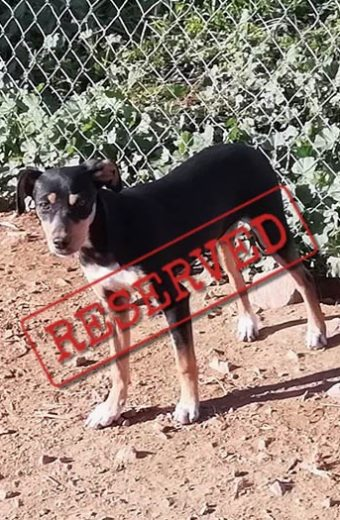 RESERVED: Mia – Pinscher cross, shy girl seeks forever home
