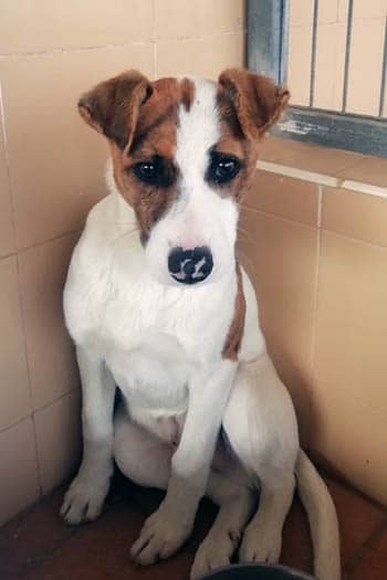 Patch small male dog