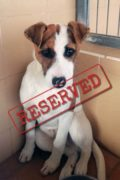 RESERVADO: Patch - perro macho tímido que busca un hogar nuevamente