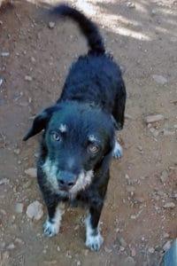 William scruffy terrier
