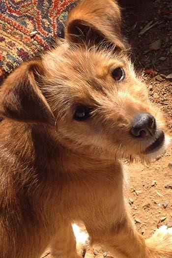 Emily young Podenco female seeks home