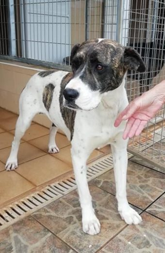 Sonja – female Mastín Boxer cross