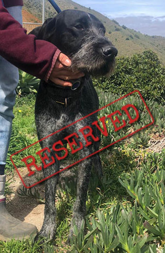 RESERVED: Pasher – wired haired German Pointer
