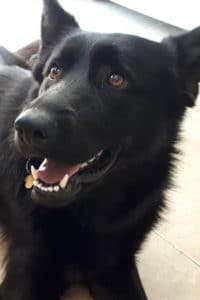 India, female Belgium Shepherd seeks home
