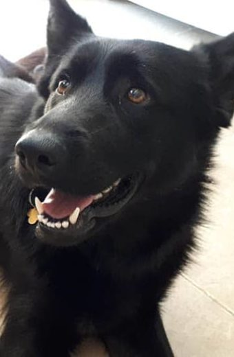 India – female Belgium Shepherd seeks forever home