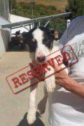 RESERVADO: Laddie - el cachorro macho de Bodeguero busca siempre el hogar