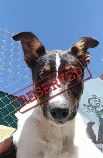 RESERVED: Laurie – male Bodeguero puppy looking for a home