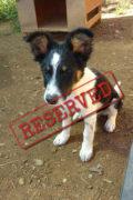 RESERVADO: Lester - dulce cachorro Bodeguero macho necesita una familia