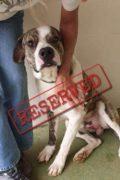RESERVADO: Lummox - el perro macho busca siempre el hogar