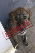 RESERVADO: Teddy - macho cachorro Mastín buscando una familia