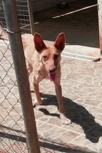 Ellie sweet Podenco mix