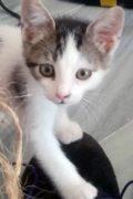 Flamenco - lindo gatito macho